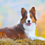 border collie dog lie on hay in autumn time