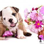 Cachorro de bulldog