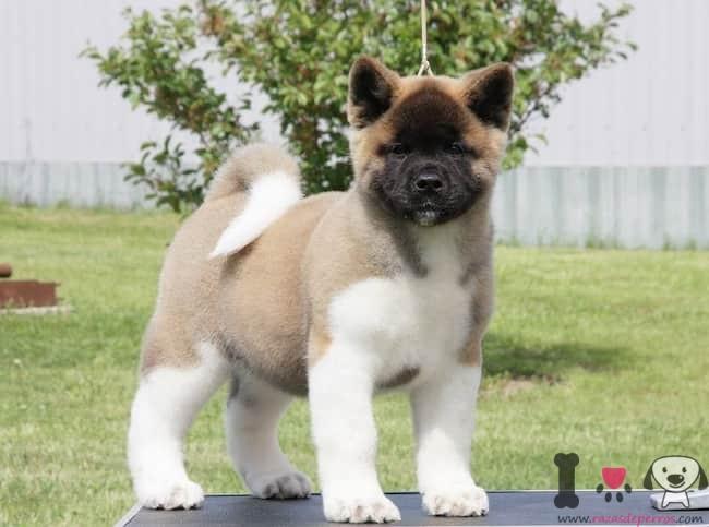 cachorro de akita con 3 meses y medio