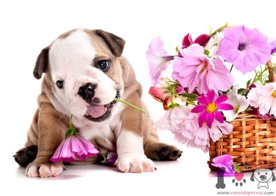 cachorro macho de bulldog con ramo de flores