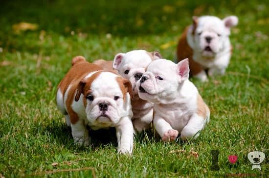 cachorros de bulldog inglés blancos y marrónes