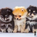 tres cachorros de lulú de pomerania