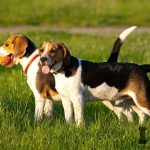beagle-adultos