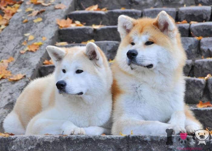 dos perros akita tumbados en la escalera