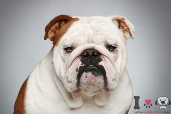 hembra de bulldog con 3 años