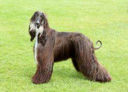 perro afgano color marrón y blanco