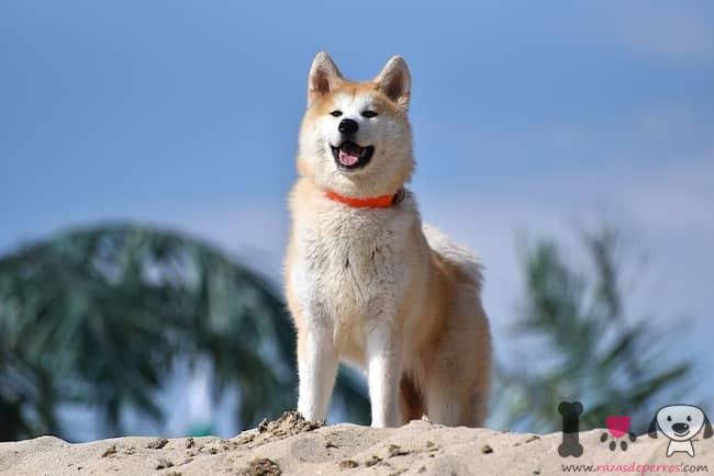 perro de la raza akita americano