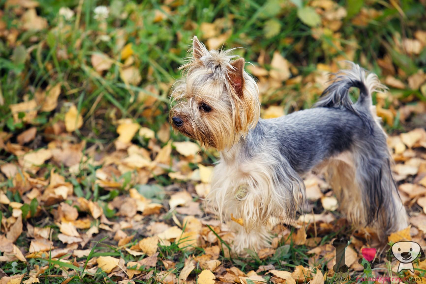 Yorkshire terrier gris y dorado con pelo corto
