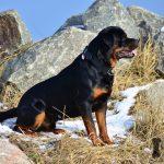 rottweiler en la montaña