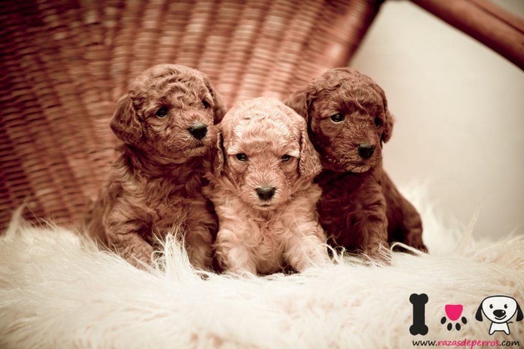 cachorros de caniche