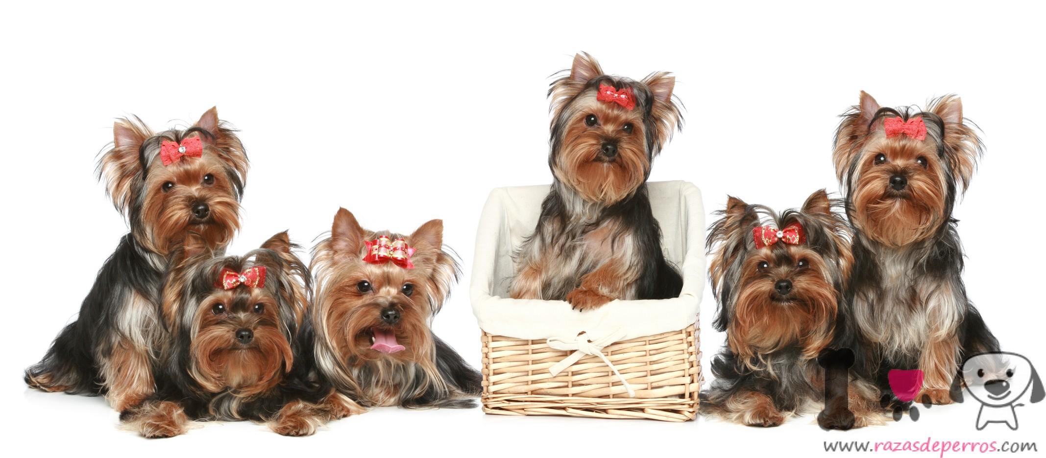 6 yorkshire terrier