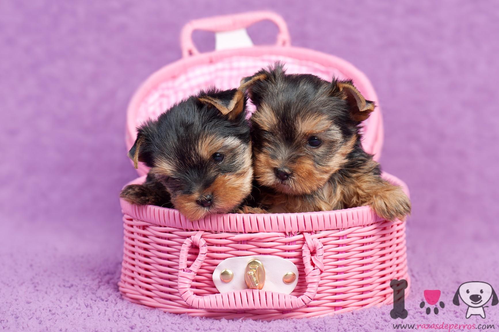 Cachorros de yorkshire en una cesta