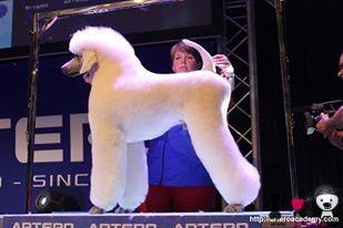 caniche gigante blanco en exposición