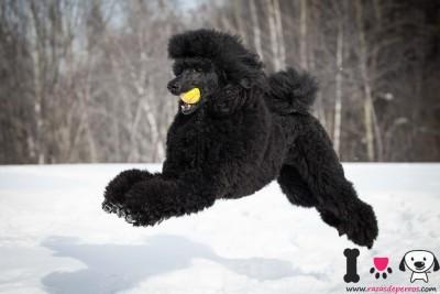 canighe gigante macho negro