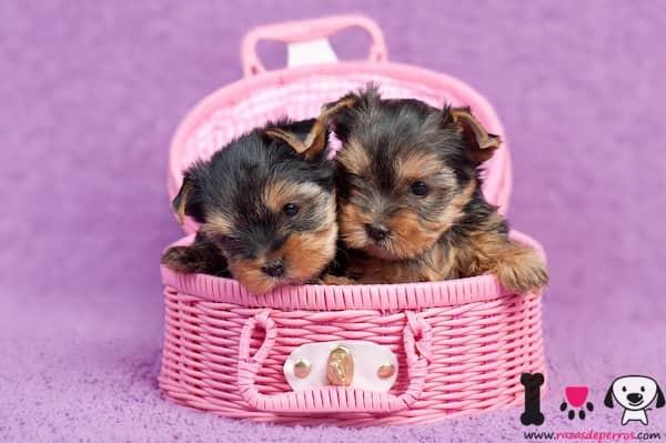 dos cachorros de yorkshire terrier en una cesta rosa