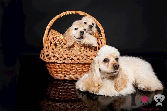 hembra de cocker con sus cachorros
