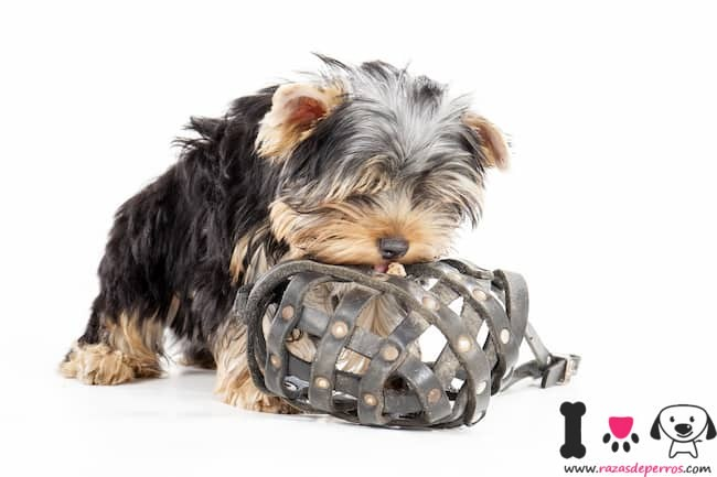 salud de un yorkshire terrier