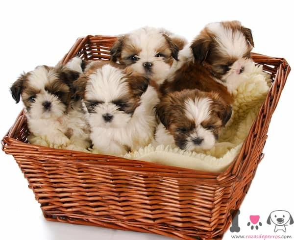 5 cachorros de shih tzu