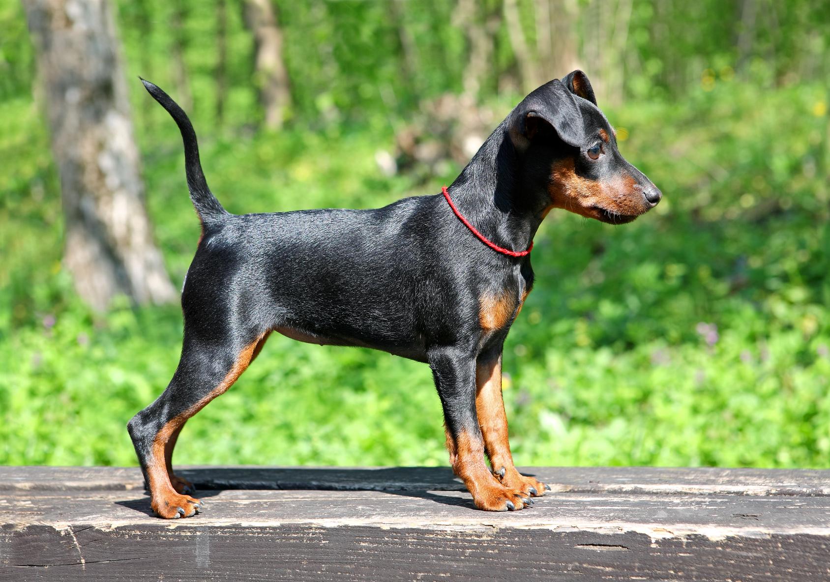 Razas De Perros Pequeños De Pelo Corto Razas De Perros