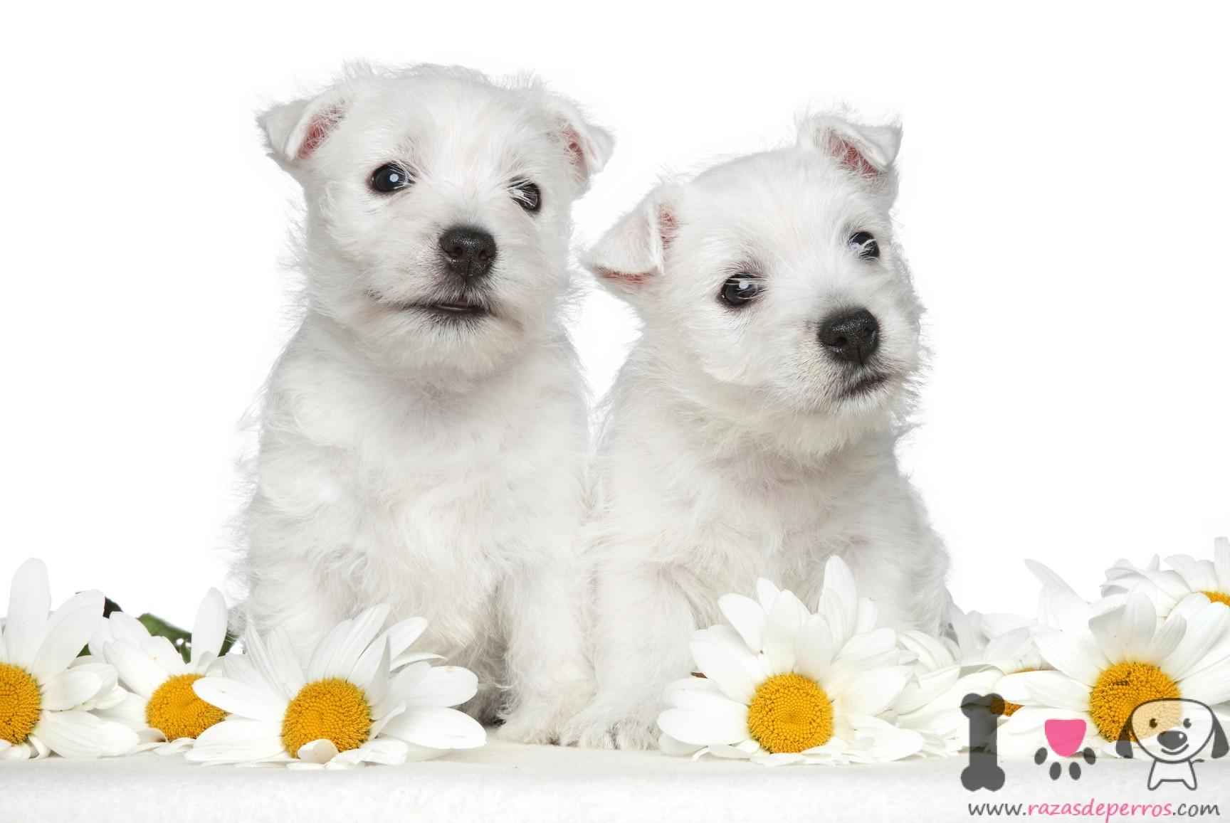 Cachorros de westy con 1 mes
