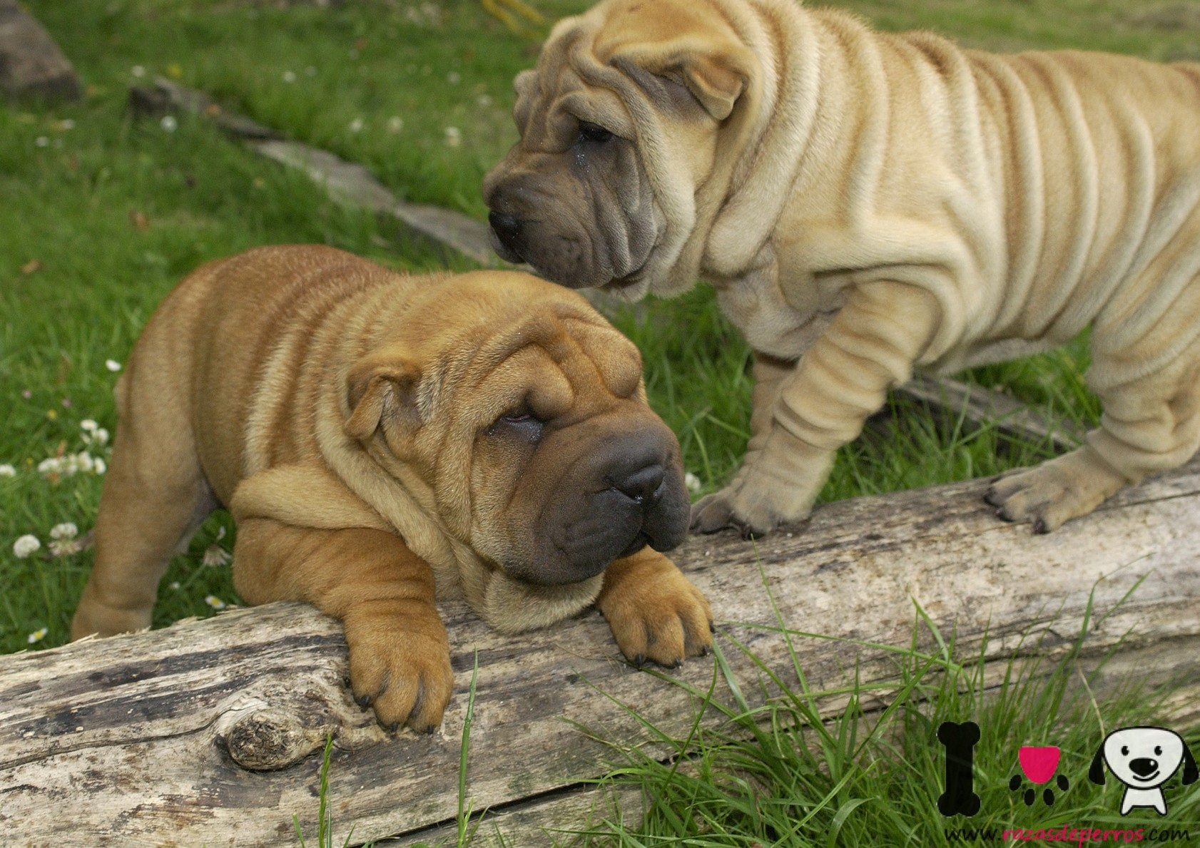 cachorros shar pei