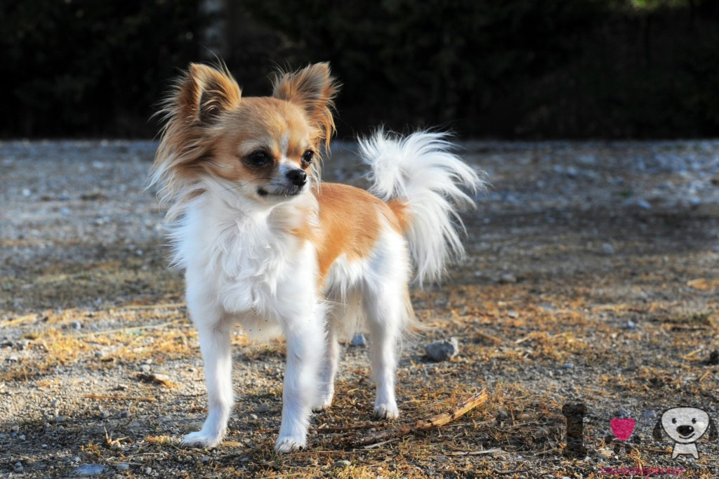 chihuahua blanco y marron
