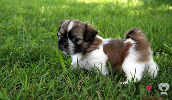 cachorro de shih tzu con mes y medio
