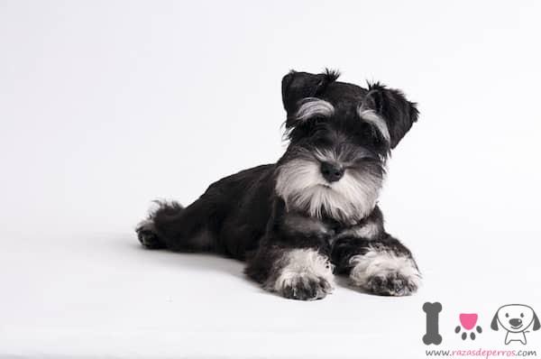 cachorro schnauzer blanco y negro