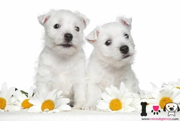 dos cachorros de westy con girasoles