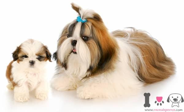 hembra de shih tzu con su cachorro