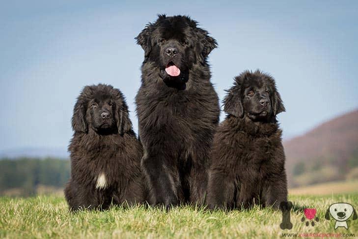 hembra de terranova con sus dos cachorros