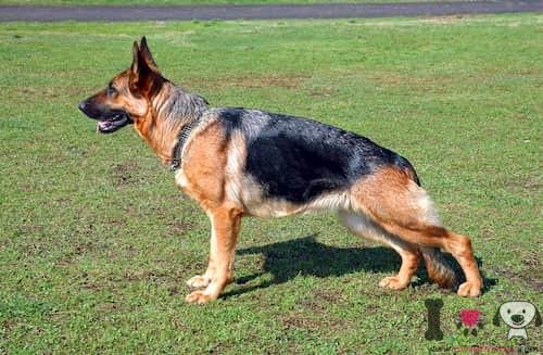 macho de la raza pastor alemán