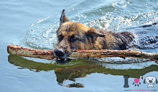 pastor alemán con un palo en el agua