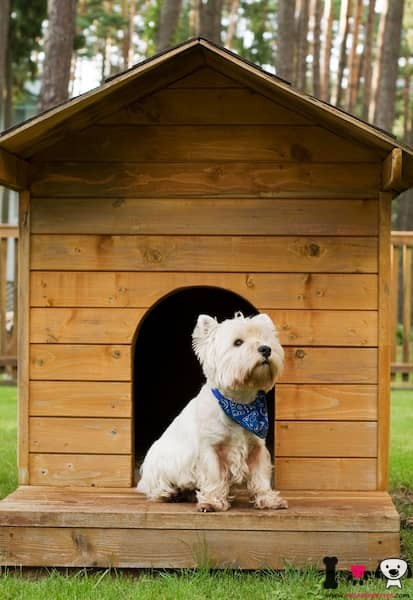 west highland terrier en su caseta de perro