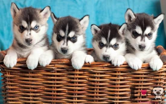 4 cachorros de raza husky siberiano