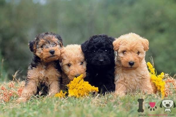 4 cachorros lakeland terrier