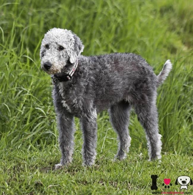 Bedlington Terrier color gris
