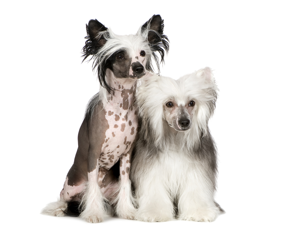 Chinese Crested Haircut