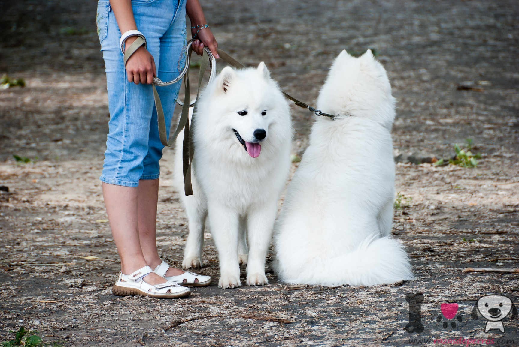 dos perros Samoyedo