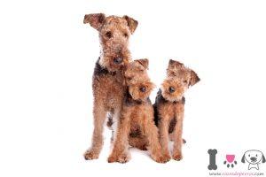 Tres perros terrier galés