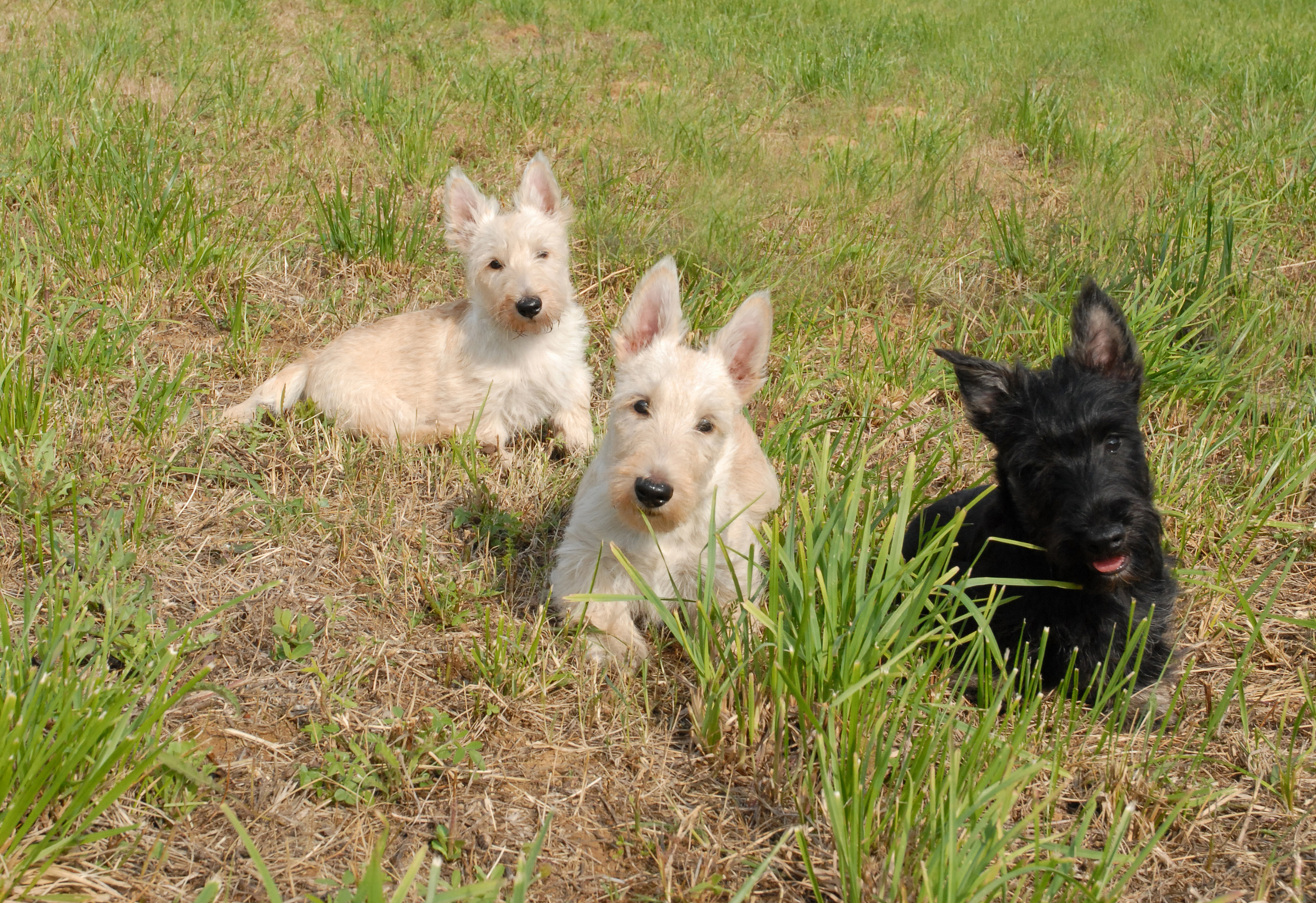 3 perros terrier escocés