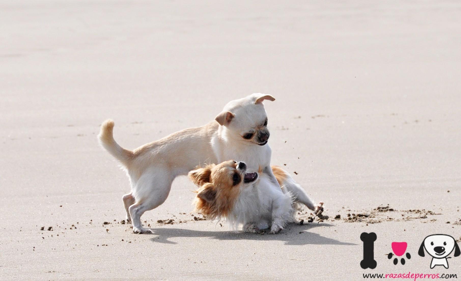 chihuahuas playa