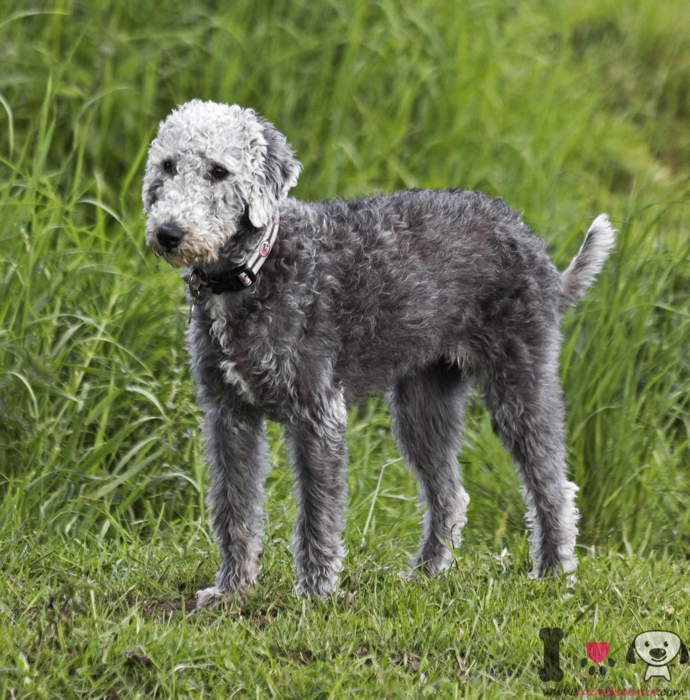 perro raza Bedlington