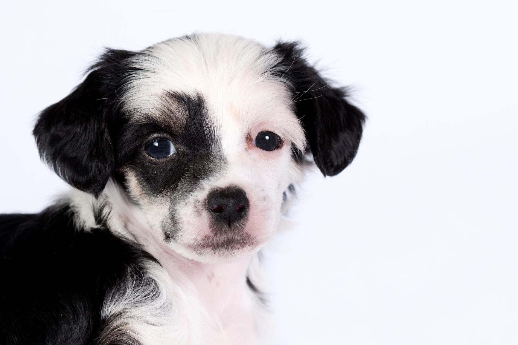 Crestado chino de cachorro