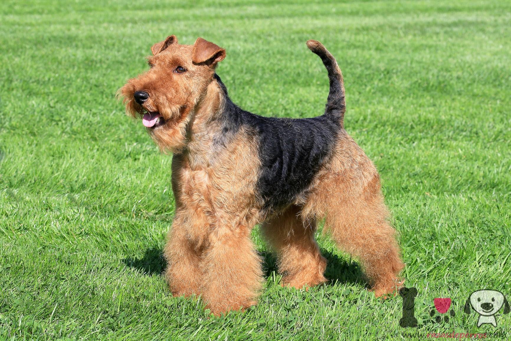 terrier gales