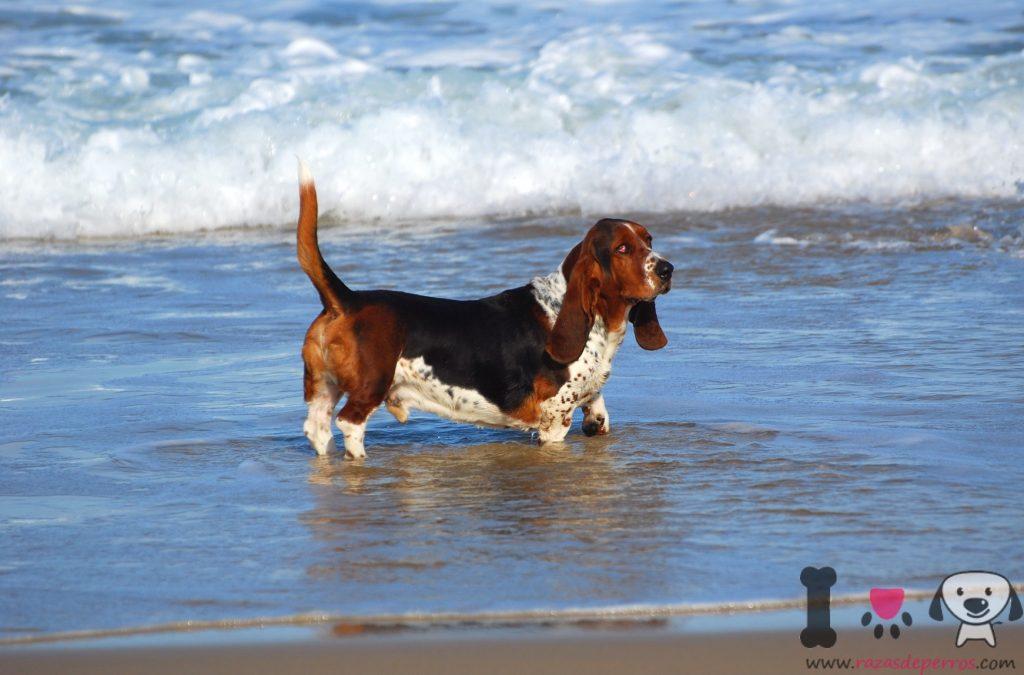 Basseto hound