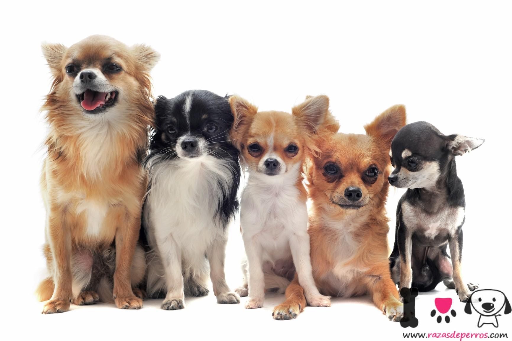 Chihuahua Información Sobre La Raza Chihuahua