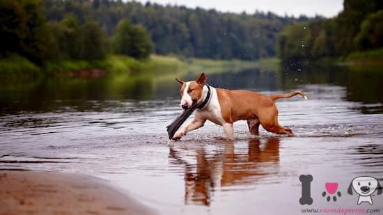 bull terrier marrón y blanco en el río