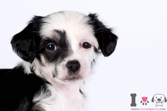 cachorro de crestado chino blanco y negro