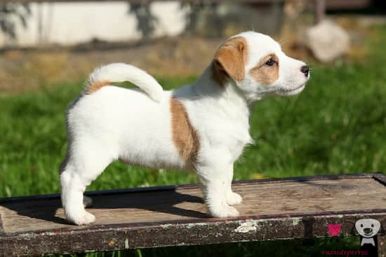 cachorro de jack russell terrier